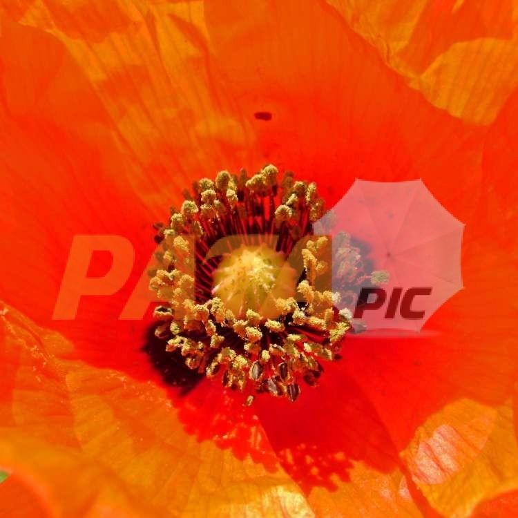 Inside in the poppyfrwwwww.patapic.com